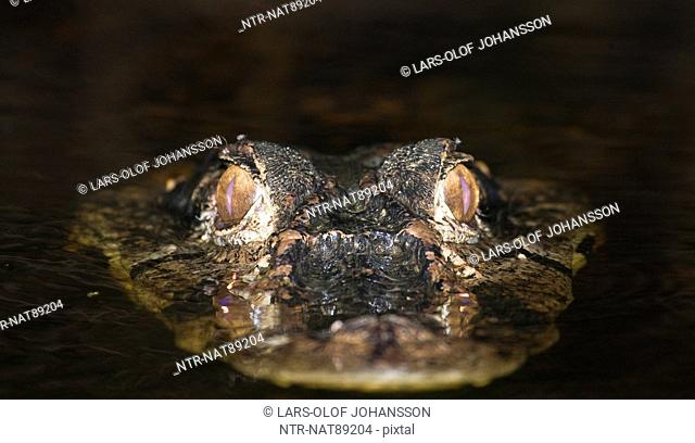 Caiman in water, close-up