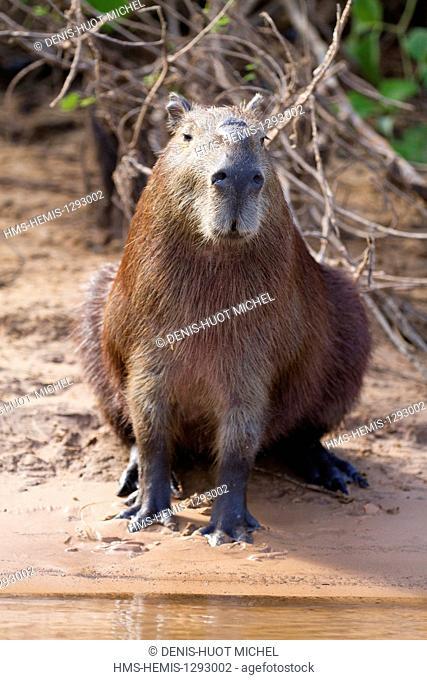 Brazil, Mato Grosso, Pantanal area, listed as World Heritage by UNESCO, capybara (Hydrochaeris hydrochaeris)