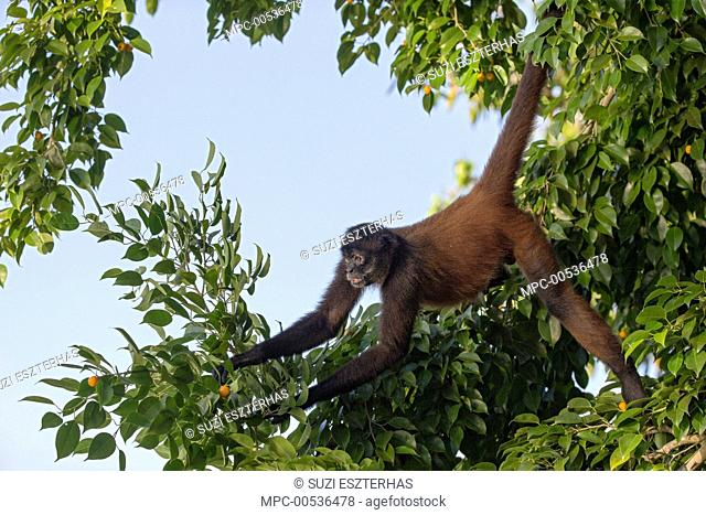 Black-handed Spider Monkey (Ateles geoffroyi), Osa Peninsula, Costa Rica