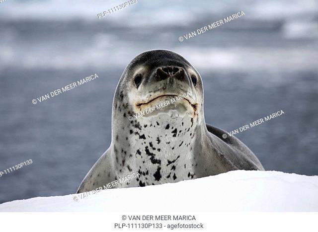 Leopard seal / sea leopard Hydrurga leptonyx in Paradise Bay, Antarctica