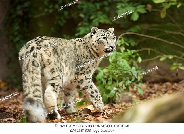 Close-up of a snow leopard (Panthera uncia syn. Uncia uncia) in autumn. Captive. Germany
