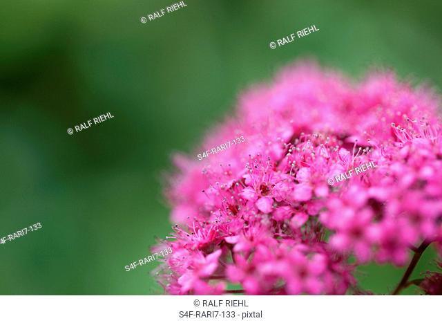 Rosafarbene Gartenazalee