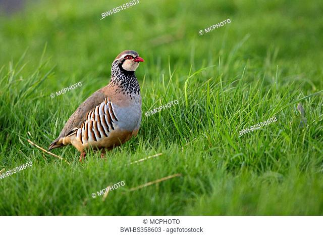 red-legged partridge (Alectoris rufa), sitting in a meadow, United Kingdom, Scotland