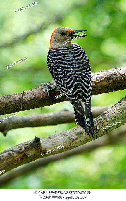 A juvenile red-bellied woodpecker, Melanerpes carolinus, Pennsylvania, USA