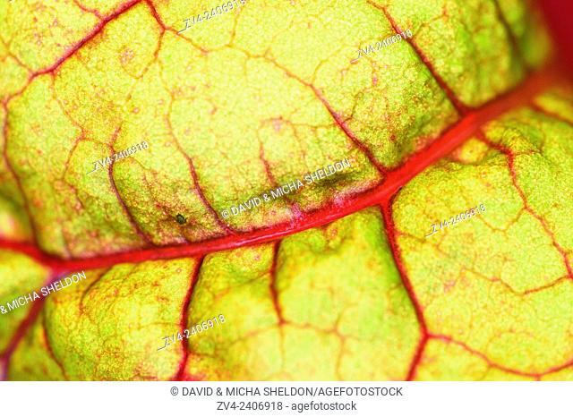 Coloured Chard (Beta vulgaris subsp. cicla) growing in a garden in autumn
