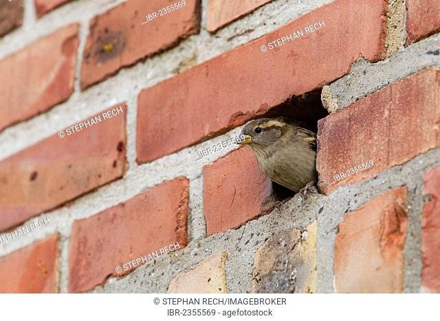House sparrow (Passer domesticus), in a hole in a brick wall, Ruegen Island, Mecklenburg-Western Pomerania, Germany, Europe