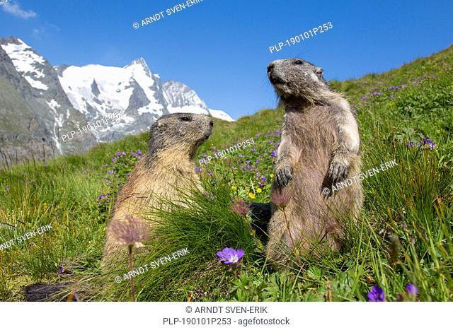 Alpine marmot (Marmota marmota) pair in front of the snow covered mountain Grossglockner, Hohe Tauern National Park, Carinthia, Austria
