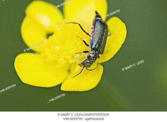 Malachite Beetle, Cordylepherus viridis on buttercup. Malachite Beetle, Cordylepherus viridis. a sexually dimorphic soft-bodied beetle often found in meadow...