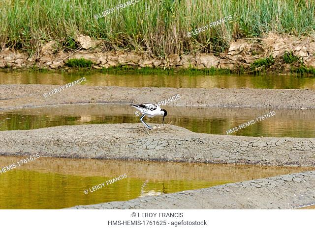 France, Vendee, L'Ile-d'Olonne, pied avocet and its nest in a salt marshes