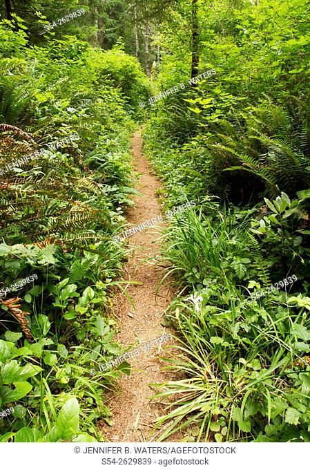 Ferns and grass alongside a hiking trail in Del Norte State Park, Redwoods, California, USA