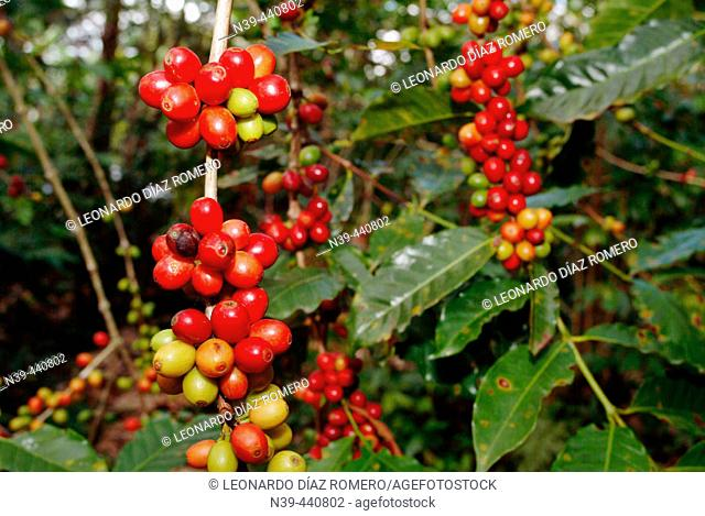 Coffee beans. Xico. Veracruz. Mexico