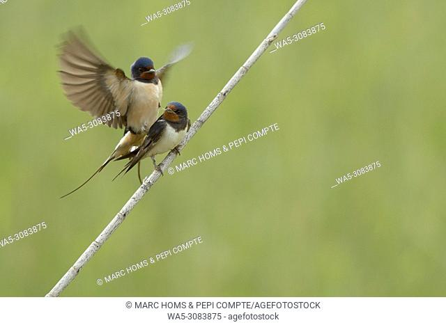 Barn swallow copulating in Aiguamolls de l'emporda natural park, Catalonia, Spain