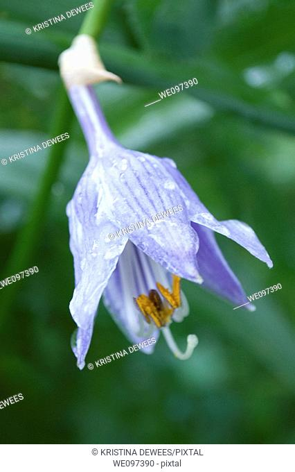 A bell shaped purple hosta bloom covered in raindrops