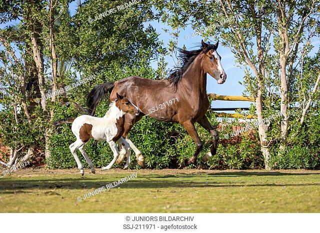 Barb Horse. Bay mare with skewbald foal galloping on a lawn. Egypt