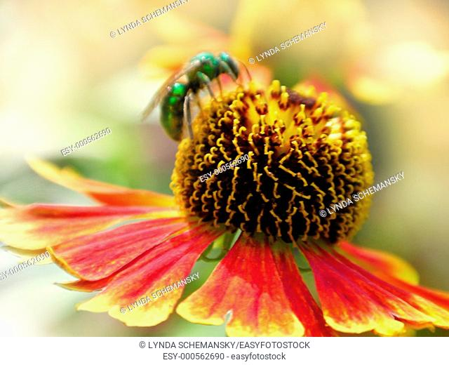 Green sweat bee on Helenium autumnale flower