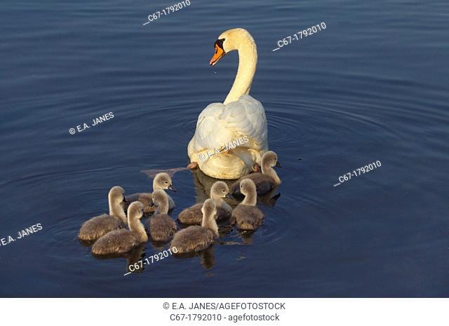 Mute Swan Cygnus olar With Cygnets