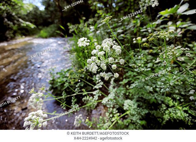Oenanthe crocata, Hemlock Water Dropwort, a very poisonous plant growing alongside a river in Wales, UK