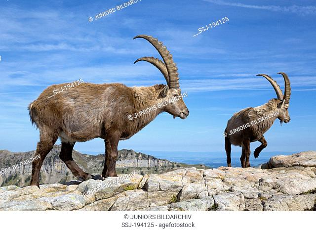 Alpine Ibex (Capra ibex). Two males standing on a rock. Switzerland