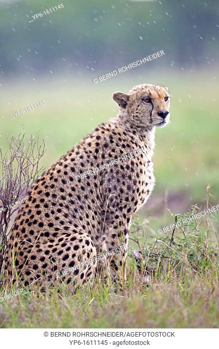 Cheetah Acinonyx jubatus, Serengeti National Park, Tanzania