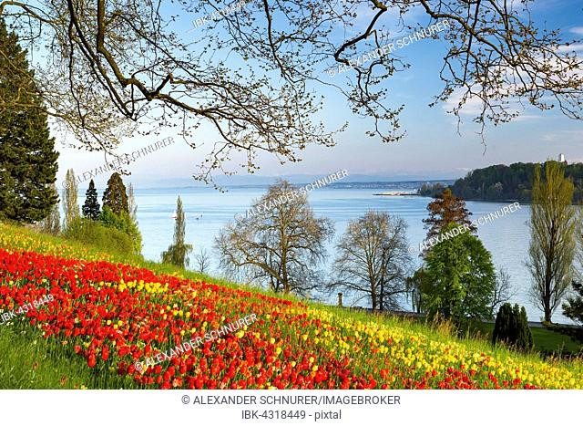 Tulips (Tulipa) with a view of Lake Constance, Mainau Island, Baden-Württemberg, Germany