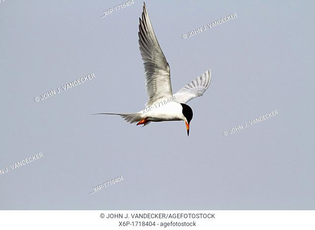 A Tern in flight looking for food in a saltmarsh  The Tern is possibly a Forster's Tern or a Common Tern which are difficult to tell apart when in breeding...