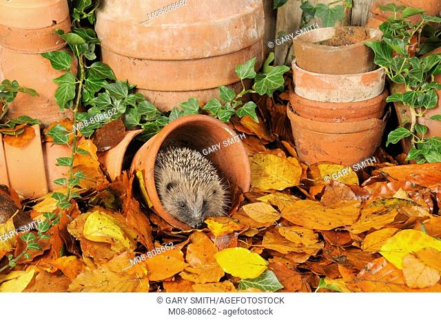 Hedgehog (Erinaceus europaeus) foraging for food in urban garden amongst terracotta pots and autumn leaves, UK