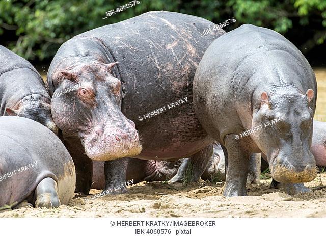 Hippopotamuses (Hippopotamus amphibius), Queen Elizabeth National Park, Uganda