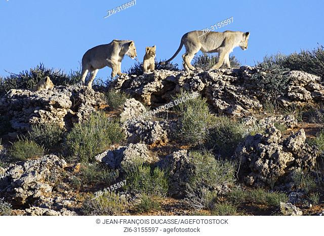 African lions (Panthera leo), two young male lions with two cubs walking at the top of the hill, Kgalagadi Transfrontier Park, Northern Cape, South Africa