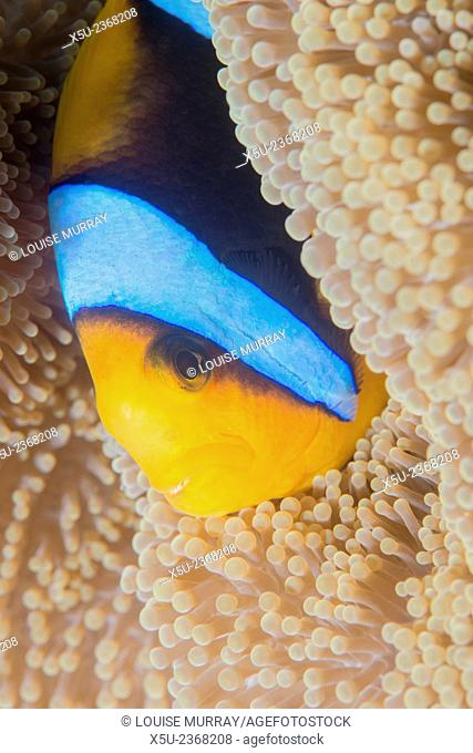 Barrier reef anenomefish, Amphiprion akindynos in tentacles of host anemone