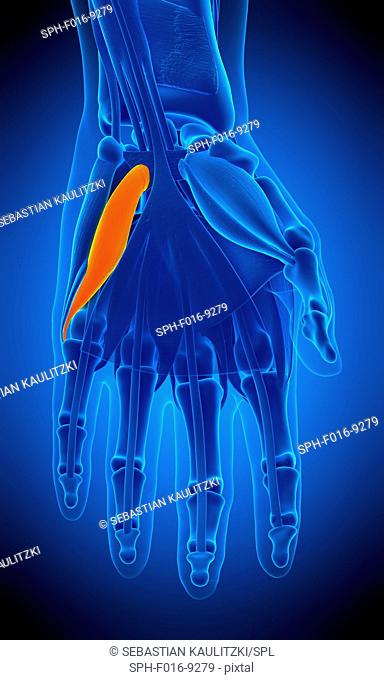 Illustration of the flexor digiti minimi brevis muscle