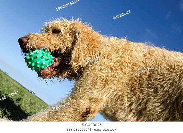 Closeup of a Labradoodle with the ball at the park