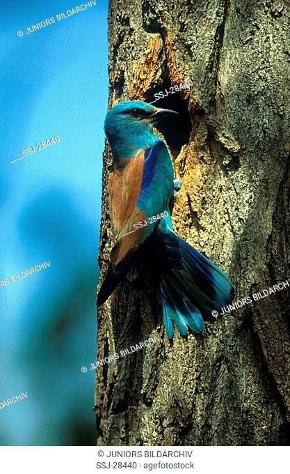 Coracids garrulus / Roller - in font of a tree trunk hole -