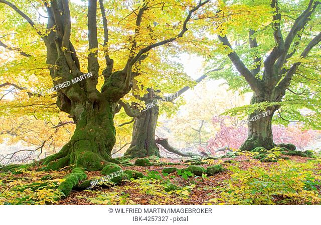 Old beech (Fagus sp.) trees in woods, yellow autumn foliage, Hutewald, Hesse, Germany