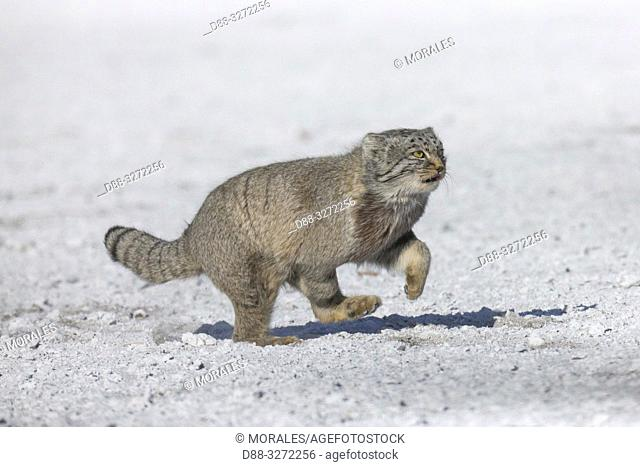 Asia, Mongolia, East Mongolia, Steppe area, Pallas's cat (Otocolobus manul), moving, running