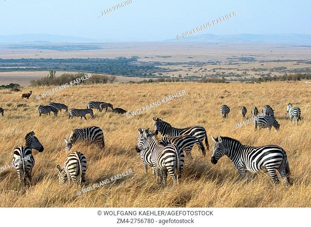 Plains zebras (Equus quagga, formerly Equus burchellii) also known as the common zebra or Burchell's zebra in the Masai Mara in Kenya
