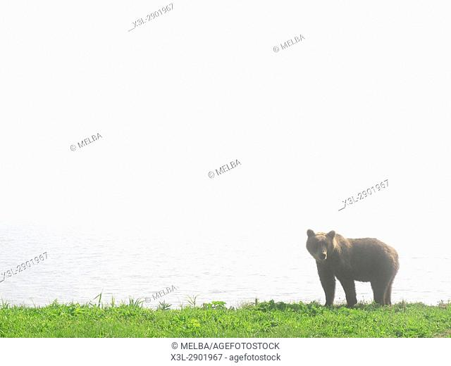 Brown Bear (Ursus arctos) in Kurile Lake, Kamchatka Peninsula, Russia