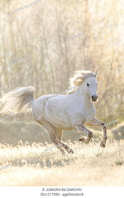 Welsh Pony (Section B). Gray mare galloping on a pasture. Germany