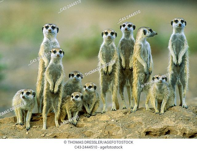Suricate (Suricata suricatta) - Adults with young on the lookout at the edge of their burrow. Kalahari Desert, Namibia