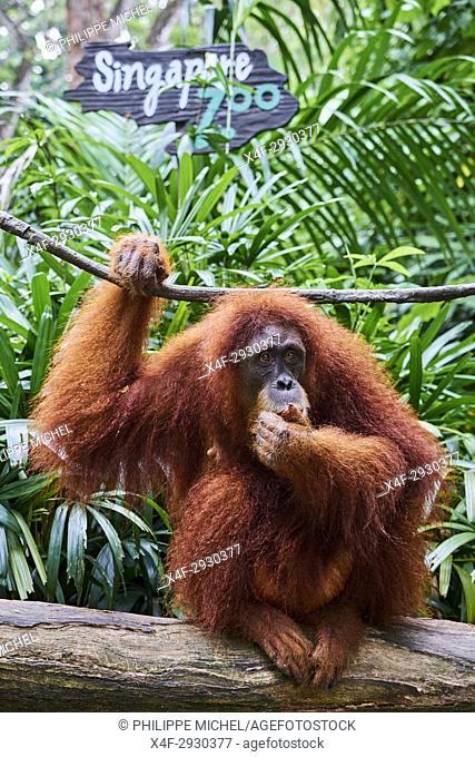 Singapore, Singapore Zoological Gardens, Mandai Zoo, Orangutans (Pongo borneo)