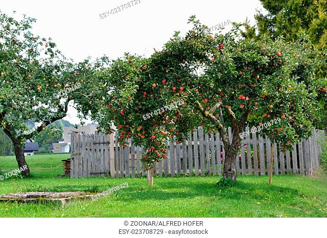 ripe apples on apple tree and old well