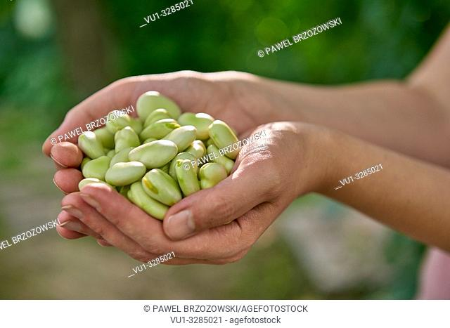 Woman is holding broad beans in hands