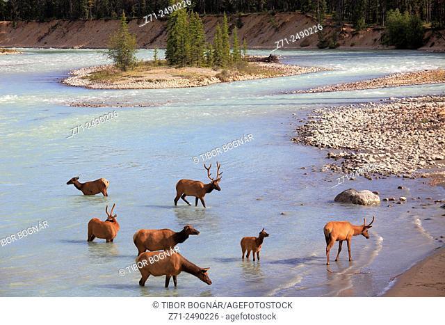 Canada, Alberta, Jasper National Park, Athabasca River, elk, cervus canadensis,
