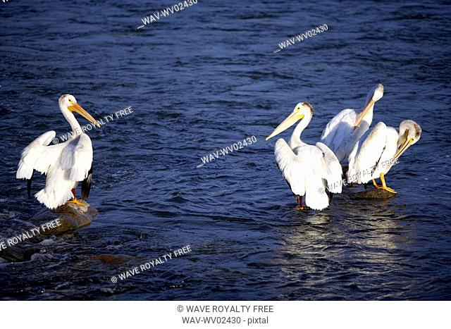 Four pelicans standing on rocks in water, Canada, Alberta