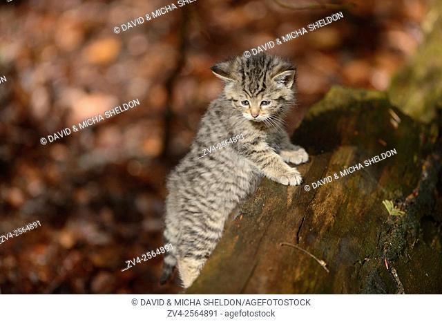 Close-up of a European wildcat (Felis silvestris silvestris) kitten in a forest in spring