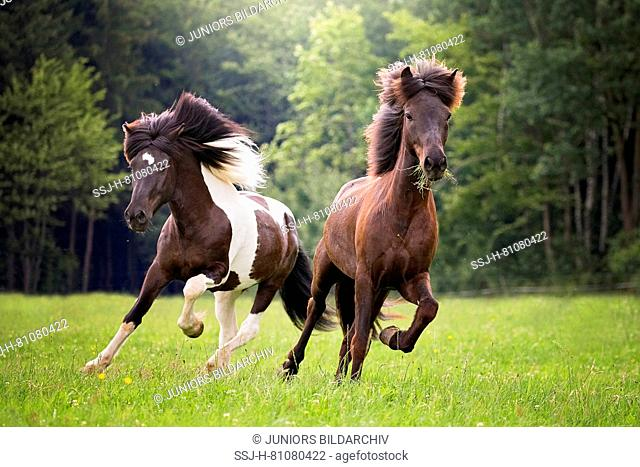 Icelandic Horse. Two adults galloping on a meadow in summer. Austria