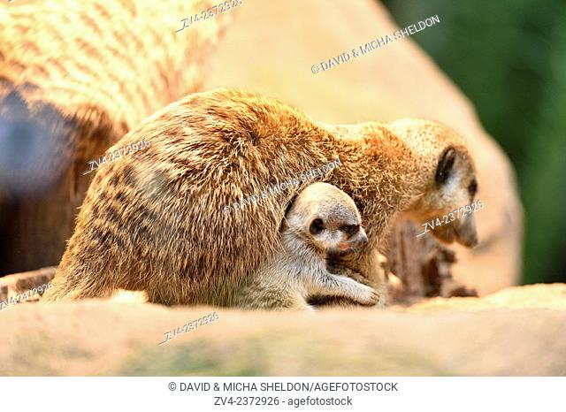 Close-up of a meerkat or suricate (Suricata suricatta) mother with her youngsters in summer