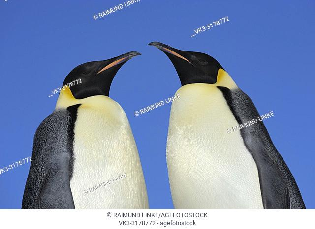 Emperor penguins, Aptenodytes forsteri, Two Adults, Portrait, Snow Hill Island, Antartic Peninsula, Antarctica
