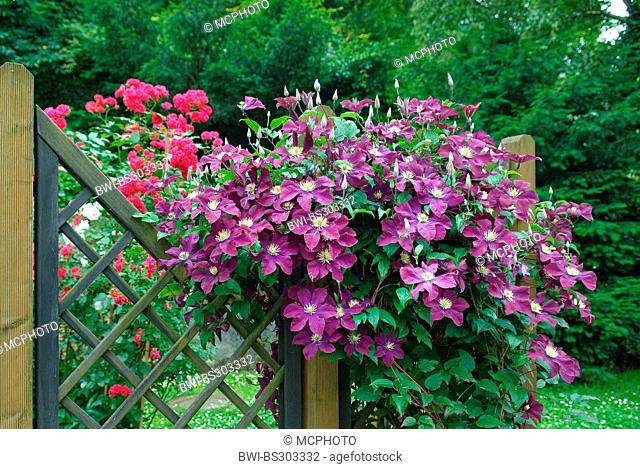 clematis, virgins-bower (Clematis 'The Vagabond', Clematis The Vagabond), cultivar The Vagabond