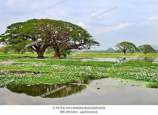 Trees on the artificial lake Tissa Wewa, Tissamaharama, Southern Province, Sri Lanka