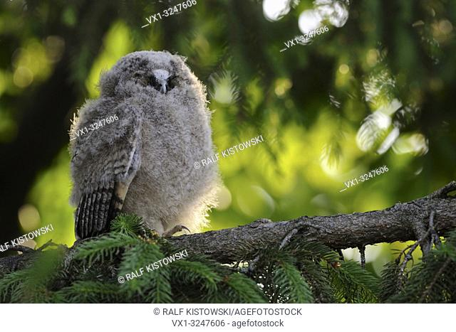 Long-eared Owl / Waldohreule ( Asio otus ), funny fledgling, young moulting chick, perched in a tree, resting, sleeping, looks funny, wildlife, Europe